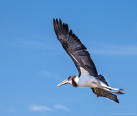 Maribou Stork in flight